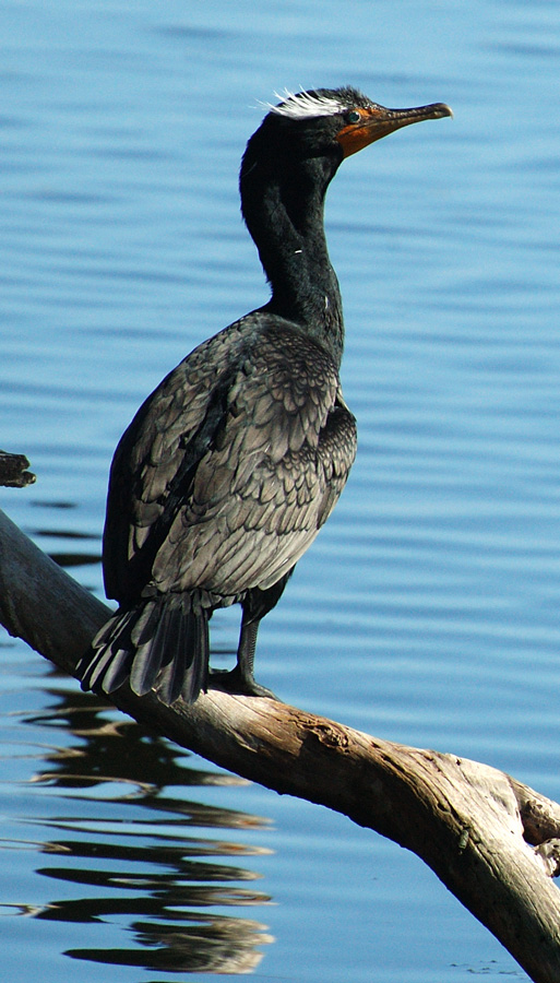 Double_Crested_Cormorant_76