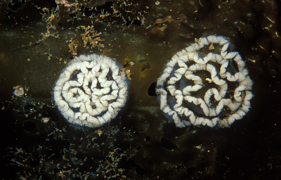 Nudibranch_eggs_1133_030