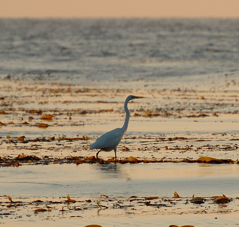 Egret_fishing_on_kelp_5864