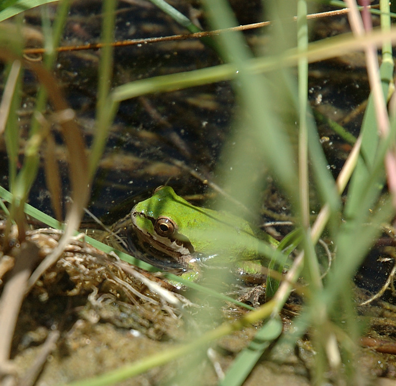 Green_frog_0388