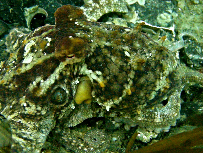 2spottedoctopus_0225