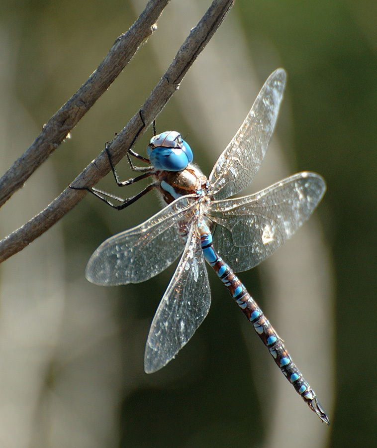 Dragonfly_2666